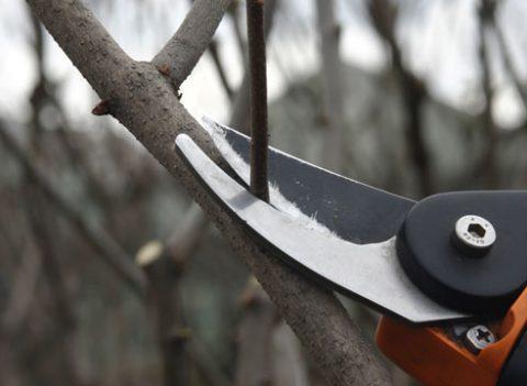 Особенности подрезки плодовых деревьев