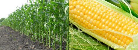 Агротехника выращивания кукурузы