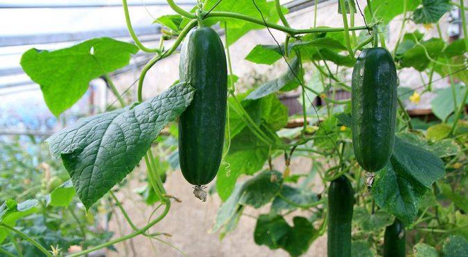 Выращиваем огурцы в теплице правильно