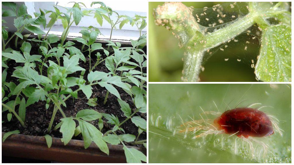 Как правильно спасти рассаду от паутинного клеща